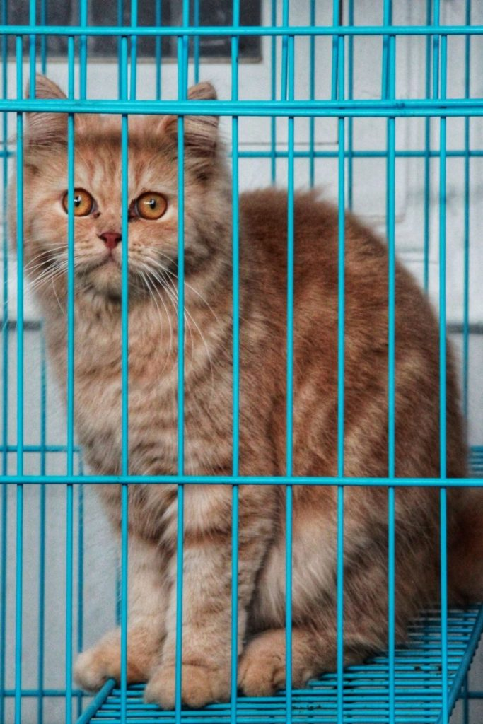 A red tabby cat in a crate with blue bars.
