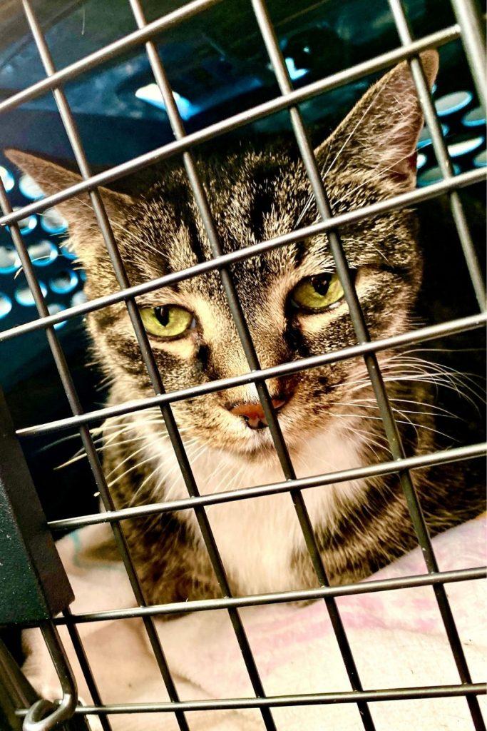 A sad tabby cat in a crate.